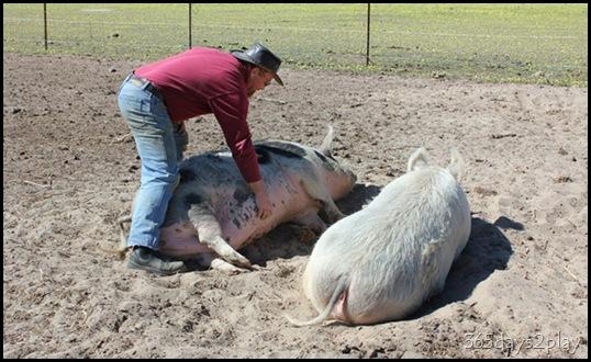 Lavendale - Pigs