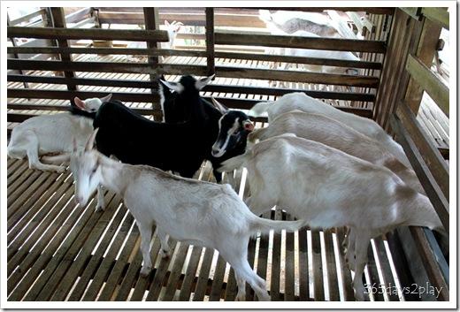 LA Goat Farm (2)