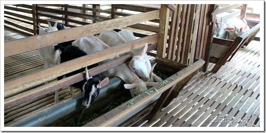 LA Goat Farm (3)