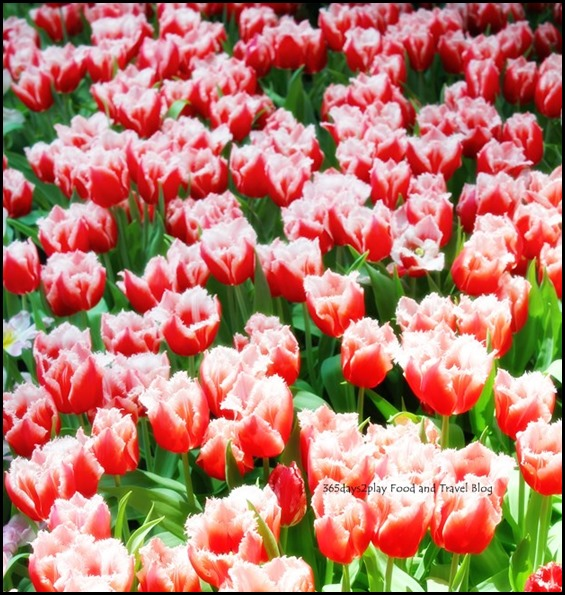 Gardens by the Bay Flower Dome Tulips (15)