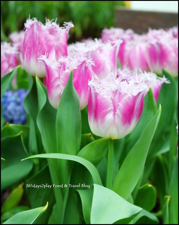 Tulip Mania 2014 (24)