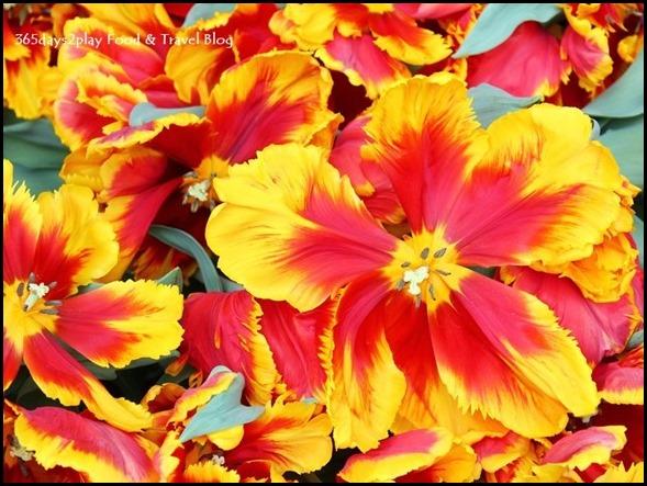Tulip Mania 2014 (26) - Copy