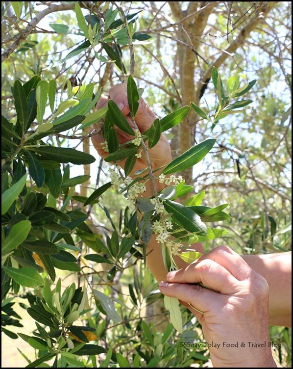 Olio Bello Olive Farm (1)