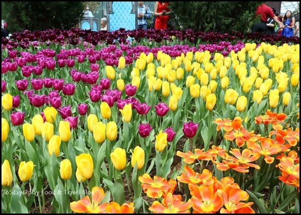Tulip Mania 2016 (13)