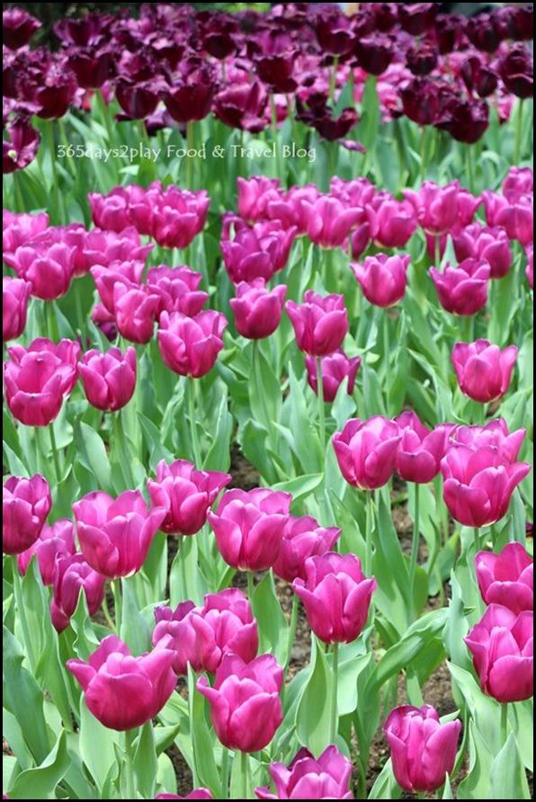 Tulip Mania 2016 (14)