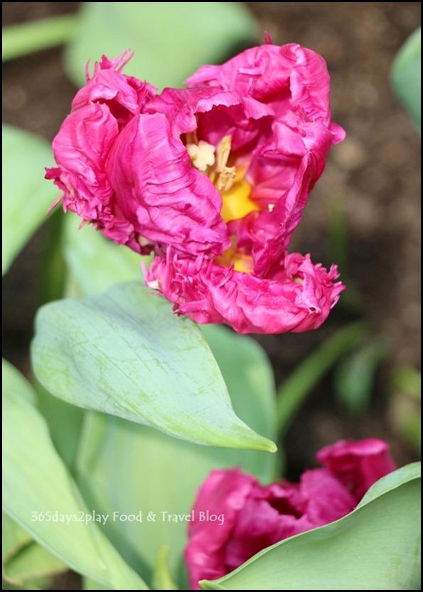 Tulip Mania 2016 (15)