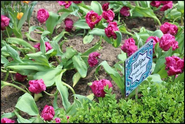 Tulip Mania 2016 (17)