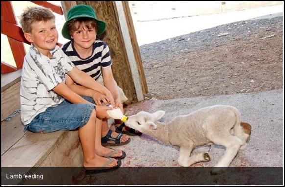 Lamb Feeding at Sheep World