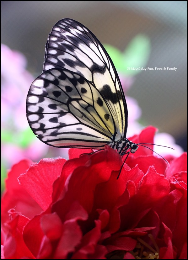 Butterfly Kingdom (12)