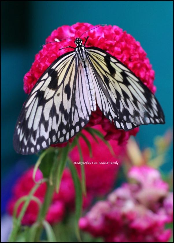 Butterfly Kingdom (16)