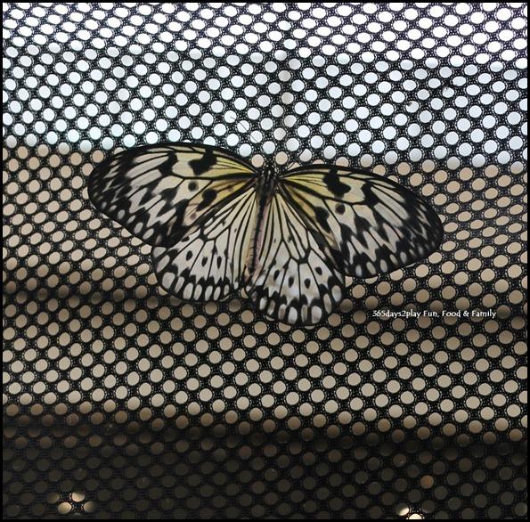 Butterfly Kingdom (4)