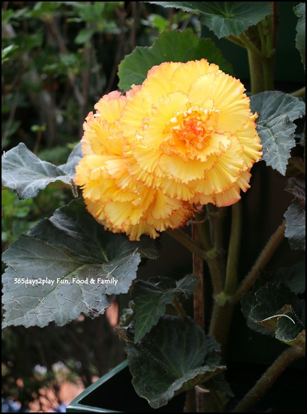 Gardens by the Bay Flower Dome - Begonia Brilliance (29)